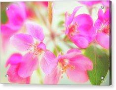 Apple Blossom 6 Acrylic Print by Leland D Howard