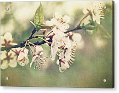 Apple Blossom Branch In Early Spring Acrylic Print by Sandra Cunningham