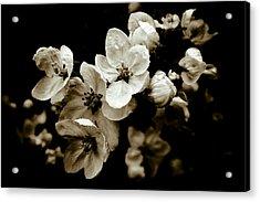 Apple Blossom Acrylic Print by Frank Tschakert