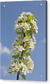 Apple Blossom In Spring Acrylic Print by Matthias Hauser