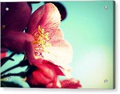 Apple Blossom Acrylic Print by Lisa Knechtel