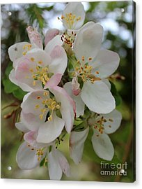 Apple Blossom Special 2 Acrylic Print by Barbara Griffin