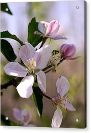 Acrylic Print featuring the photograph Apple Blossom Time by Diane Merkle