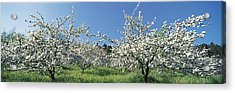 Apple Blossom Trees Norway Acrylic Print by Panoramic Images
