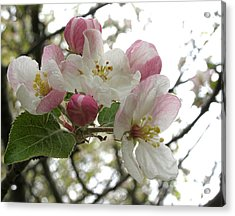 Acrylic Print featuring the photograph Apple Blossoms - Wild Apple by Angie Rea