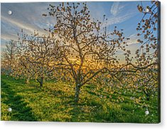 Apple Blossoms At Sunrise 2 Acrylic Print