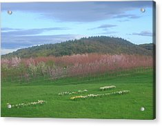 Apple Blossoms In Spring Acrylic Print by John Burk