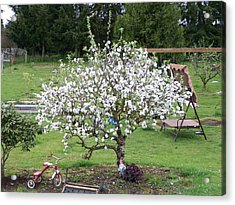 Apple Blossoms Acrylic Print by Laurie Kidd