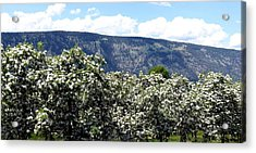 Apple Blossoms Acrylic Print by Will Borden