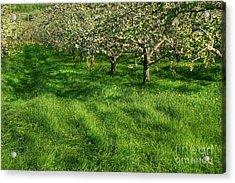Apple Orchard Acrylic Print by Sandra Cunningham