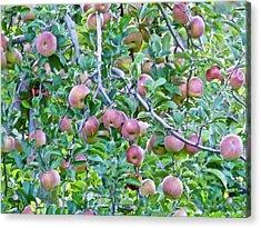 Apple Season Acrylic Print