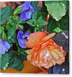 Apricot Begonia 1 Acrylic Print by Janis Nussbaum Senungetuk