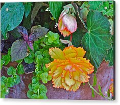 Apricot Begonia 3 Acrylic Print by Janis Nussbaum Senungetuk