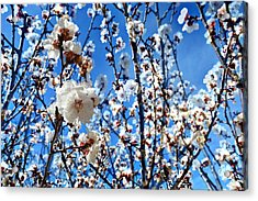 Acrylic Print featuring the photograph Apricot Blossoms by Glenn McCarthy Art and Photography