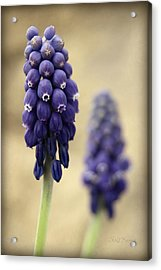 Acrylic Print featuring the photograph April Indigo by Chris Berry