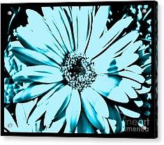 Aqua Daisy Blue Acrylic Print by Marsha Heiken