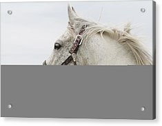 Arabian Horse Portrait Acrylic Print by Laurie With