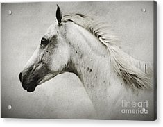 Arabian White Horse Portrait Acrylic Print