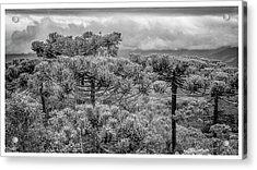 Araucaria Angustifolia-campos Do Jordao-sp Acrylic Print
