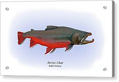 Arctic Charr Acrylic Print by Ralph Martens