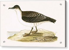 Arctic Cinereous Shearwater Acrylic Print by English School