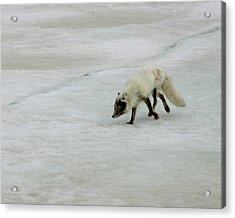 Arctic Fox On Ice Acrylic Print by Anthony Jones