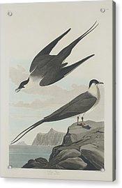 Arctic Jager Acrylic Print by Rob Dreyer