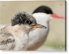 Arctic Tern Chick With Parent - Scotland Acrylic Print
