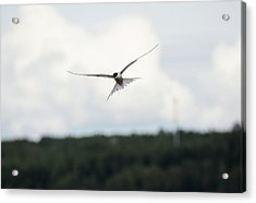 Arctic Tern In Flight Acrylic Print