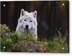 Arctic Wolf In Autumn Acrylic Print