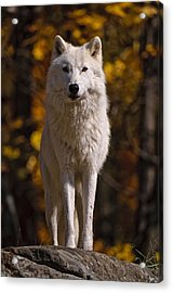 Acrylic Print featuring the photograph Arctic Wolf On Rocks by Michael Cummings