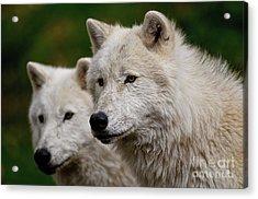 Arctic Wolf Pair Acrylic Print by Michael Cummings