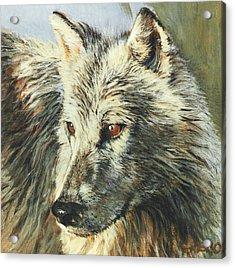 Arctic Wolf Acrylic Print by Steve Greco