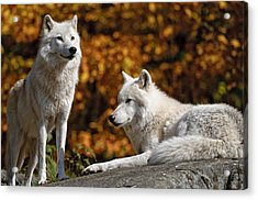 Acrylic Print featuring the photograph Arctic Wolves On Rocks by Michael Cummings