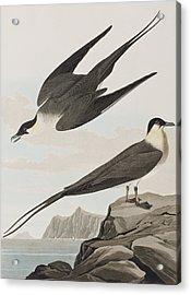 Arctic Yager Acrylic Print by John James Audubon