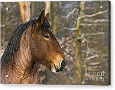 Ardennais Draft Horse Acrylic Print
