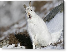 Are You Kidding? - Mountain Hare #14 Acrylic Print
