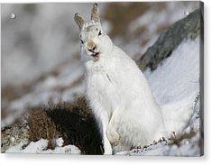 Are You Kidding? - Mountain Hare #14 Acrylic Print