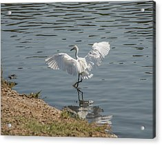 Are You Ready To Dance - Great Egret In Mtn View Ca Acrylic Print