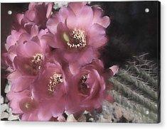 Argentine Cactus Blooms Acrylic Print