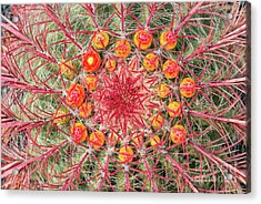 Arizona Barrel Cactus Acrylic Print by Delphimages Photo Creations
