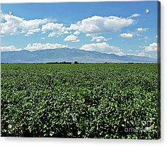 Arizona Cotton Field Acrylic Print by Methune Hively