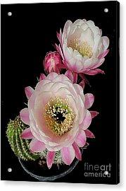 Arizona Desert Cactus Flowers Acrylic Print