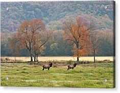 Arkansas Elk - 7802 Acrylic Print