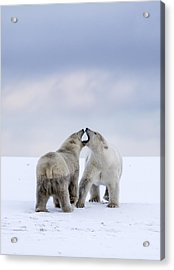 Artic Antics Acrylic Print