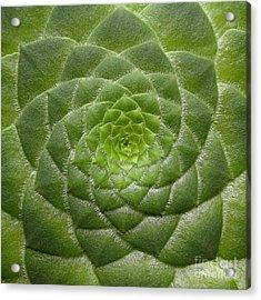 Artistic Nature Green Aeonium Cactus Macro Photo 203 Acrylic Print