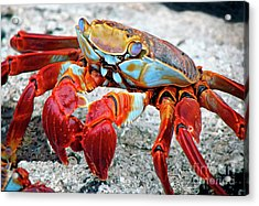 Artistic Nature Red And Blue Rainbow Crab 908 Acrylic Print