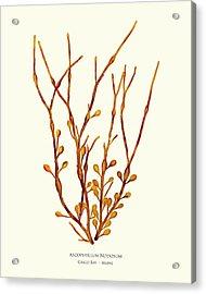 Ascophyllum Nodosum, Casco Bay, Maine Acrylic Print
