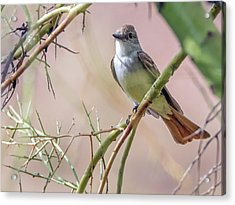 Ash-throated Flycatcher 9460 Acrylic Print by Tam Ryan