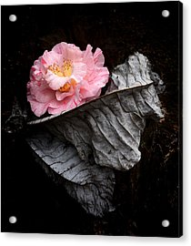Ashes Camelia Acrylic Print by Kathryn Stivers
